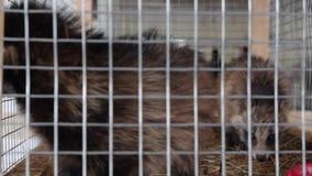 Szop pracz w klatce - zwierzęta w klatce zbiory wideo
