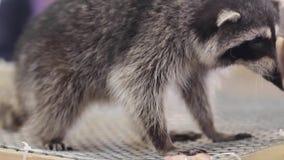 Szop pracz w klatce - zwierzęta w klatce zdjęcie wideo
