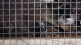 Szop pracz w klatce - zwierzęta w klatce zbiory