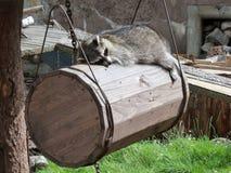 Szop pracz w zoo Kaliningrad Zdjęcie Stock