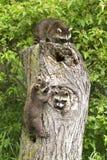 Szopowy drzewo Fotografia Royalty Free