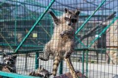Szopowy obwieszenie na klatce w zoo obraz stock