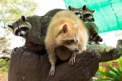 Szopy na drzewie Zdjęcie Royalty Free