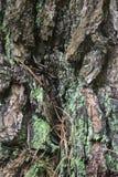 Szorstka barkentyna z Jaskrawym - zielony liszaj zdjęcia royalty free
