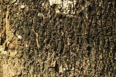 Szorstka tekstura która jest w tropikalnych lasowych drzewach Fotografia Royalty Free
