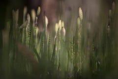 Szorstki horsetail Zdjęcia Royalty Free