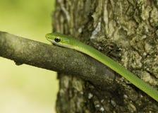 Szorstki zielony wąż na gałąź Fotografia Stock