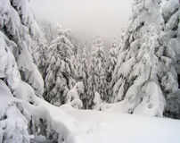 szorstkie zimowych lasu Zdjęcie Stock
