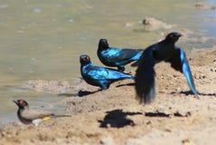Szpaczek - błękita i purpur połysk od Afryka Zdjęcia Stock