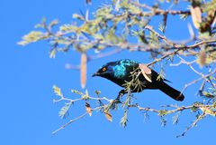 Szpaczek, Glansowany - Błękitni i Purpurowi Afrykańscy Dzicy ptaki Fotografia Stock