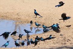 Szpaczek, słyszący i Glansowany, - Błękitna i Purpurowa linia piórka od Afryka Zdjęcia Royalty Free