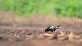 Szpaczek szuka insekty w ziemi na słonecznym dniu zbiory wideo