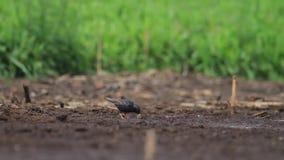 Szpaczek szuka jedzenie w mokrej ziemi zbiory