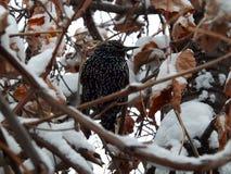Szpaczek wśród śnieżystych drzew Obrazy Royalty Free