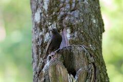 Szpaczek w drzewie Fotografia Royalty Free