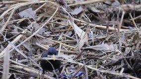 Szpaczek zbiera materiał dla gniazdeczka zdjęcie wideo