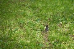 Szpaczka i kurczątka odprowadzenie na trawie na letnim dniu Obraz Stock