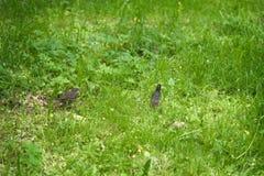 Szpaczka i kurczątka odprowadzenie na trawie na letnim dniu Obrazy Stock