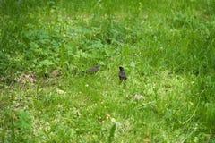 Szpaczka i kurczątka odprowadzenie na trawie na letnim dniu Zdjęcie Royalty Free