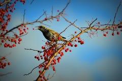 Szpaczka ptak, belfer Otwarty, Czerwone jagody Fotografia Stock