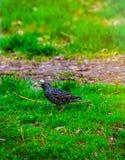 Szpaczka spacer na trawie Corvids szpaczek Męski kosa odprowadzenie na zielonej łące Fotografia Stock
