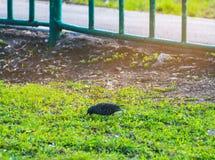 Szpaczka spacer na trawie Corvids szpaczek Męski kosa odprowadzenie na zielonej łące Zdjęcie Royalty Free