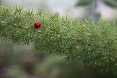 Szparagowy aethiopicus, Sprengers asparagus z czerwoną jagodą, Zdjęcia Stock