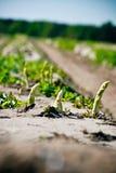 szparagowy biel Zdjęcia Stock