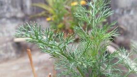 Szparagowy densiflora ` Sprengeri ` Zdjęcia Royalty Free