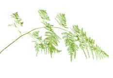 Szparagowy setaceus Fotografia Royalty Free