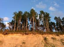 Szpilek drzewa nad piaska wybrzeże Fotografia Royalty Free