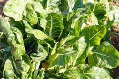 Szpinak od sadu w szczególe Zdjęcie Stock