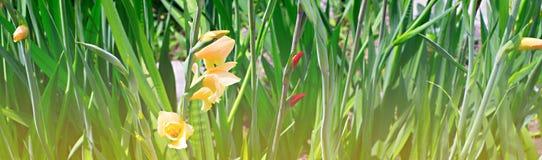 Sztandarów piękni kwiaty i jaskrawa trawa w ogródzie Obrazy Stock