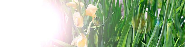 Sztandarów piękni kwiaty i jaskrawa trawa w ogródzie Obraz Royalty Free