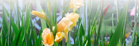 Sztandarów piękni kwiaty i jaskrawa trawa w ogródzie Zdjęcia Stock