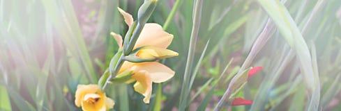 Sztandarów piękni kwiaty i jaskrawa trawa w ogródzie Zdjęcie Stock