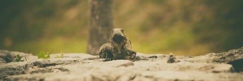 Sztandar iguana Zdjęcia Stock