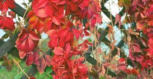Sztandar jesieni rośliny ulistnienia naturalnego parka jesieni czerwonego drewnianego retro płotowego Pięknego krajobrazu selekcy obrazy stock