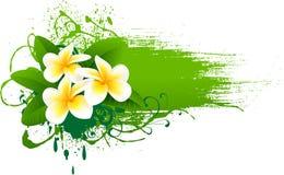 sztandaru frangipani Zdjęcie Royalty Free