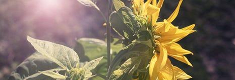 Sztandaru Jeden wielki słonecznik na tle natura Obraz Royalty Free