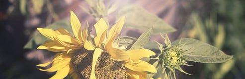Sztandaru Jeden wielki słonecznik na tle natura Fotografia Royalty Free