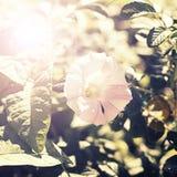 Sztandaru Jeden wielki słonecznik na tle natura Obraz Stock