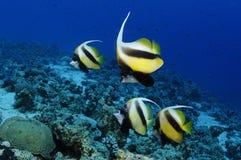 sztandaru morze rybi czerwony Obrazy Royalty Free