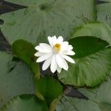 sztuczne kwiaty lotos Fotografia Royalty Free