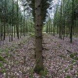 Sztucznie uprawiany las z naprzemianległymi rzędami jodły i dęby, Pojęcie konserwacja i przywrócenie rośliny obrazy royalty free