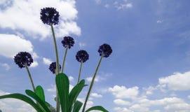 Sztuczny Fiołkowy kwiat z niebieskim niebem i bielem chmurnieje Zdjęcie Royalty Free
