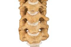 Sztuczny ludzki karkowy kręgosłup Zdjęcia Royalty Free