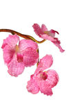sztuczny różowy Vanda Zdjęcie Royalty Free