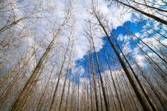 Sztuczny topolowy las i niebo Zdjęcia Stock