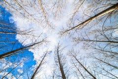 Sztuczny topolowy las i niebo Obraz Royalty Free